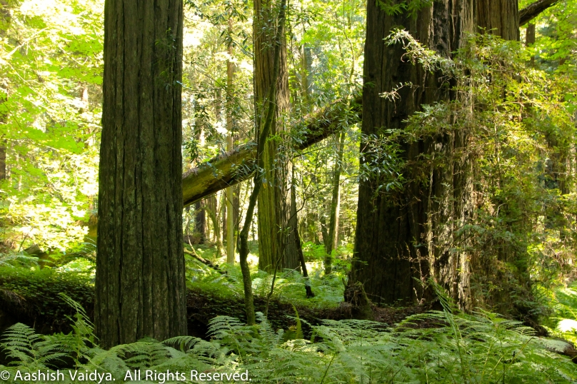 Redwoods Forest, California.