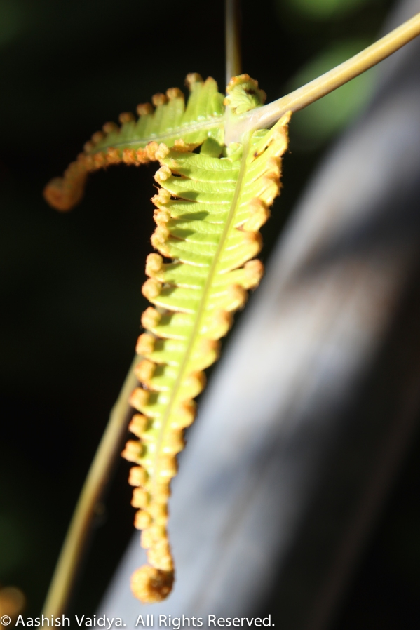 Closeup of fern leaf.  Hawaii Volcanoes National Park