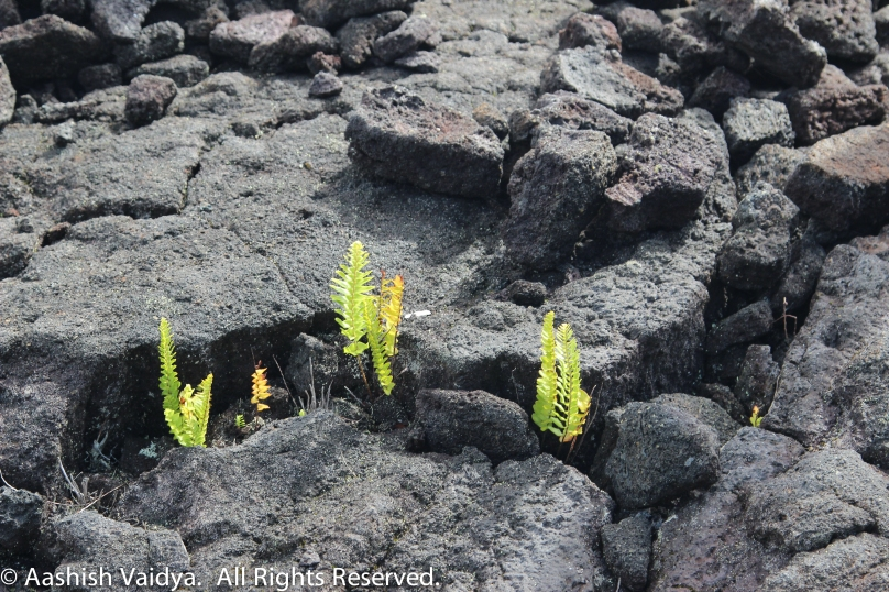 Fern growing on lava rock.  Hawaii Volcanoes National Park.