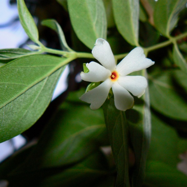 Night Jasmine - Creative Commons credit Dinesh Valke 2